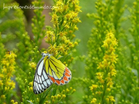 Mariposa en los Jardines Colgantes de Bombay