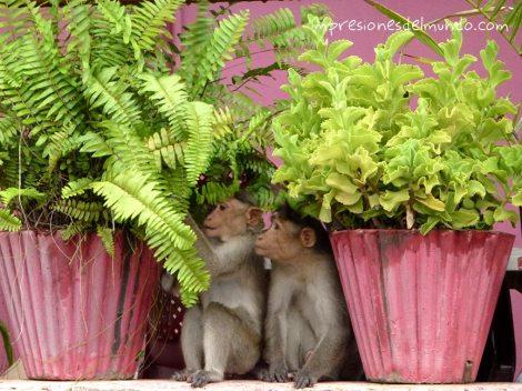 monos-Hampi-impresiones-del-mundo