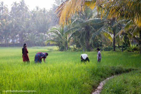 arrozal-Varkala-impresiones-del-mundo