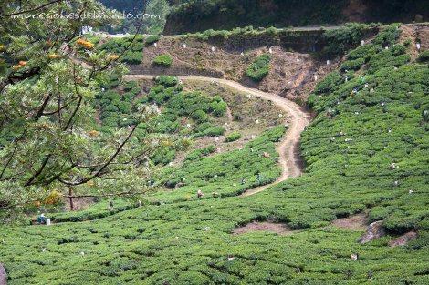 campos-de-te3-Munnar-impresiones-del-mundo