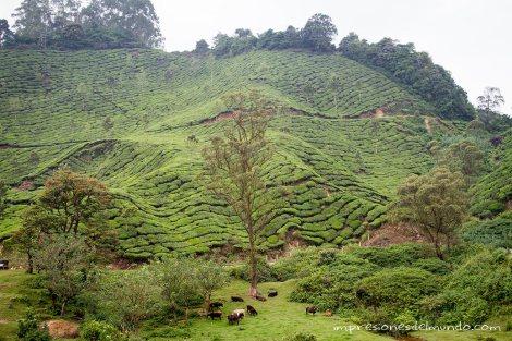campos-de-te5-Munnar-impresiones-del-mundo