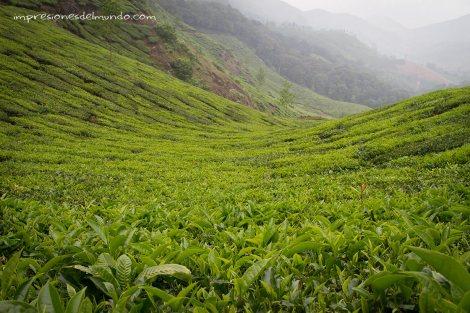campos-de-te6-Munnar-impresiones-del-mundo
