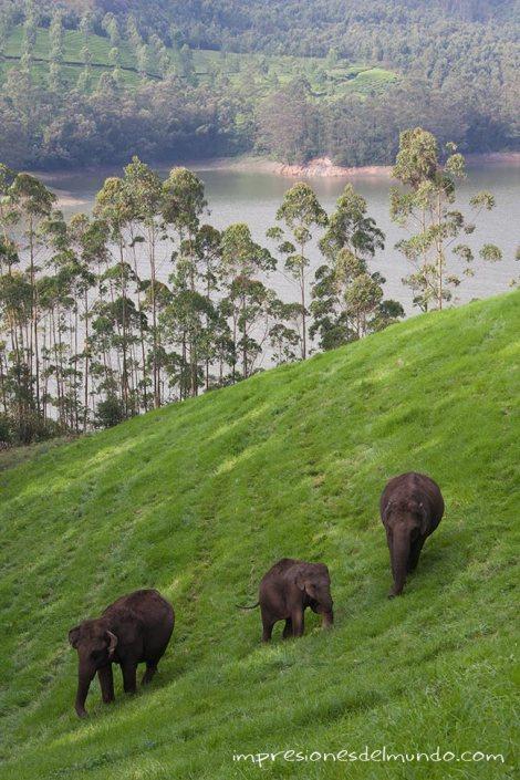 elefantes-2-Munnar-impresiones-del-mundo