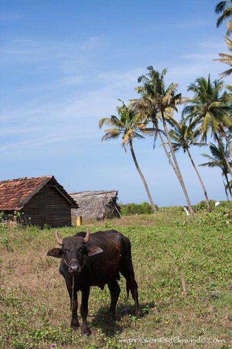 vaca-Varkala-impresiones-del-mundo
