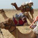 camellos-desierto-Thar-impresiones-del-mundo