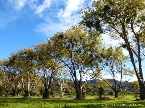 arboles-Nueva-Zelanda-isla-sur-impresiones-del-mundo