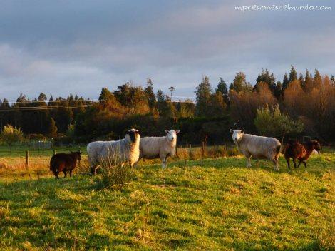 ovejas-Nueva-Zelanda-isla-sur-impresiones-del-mundo