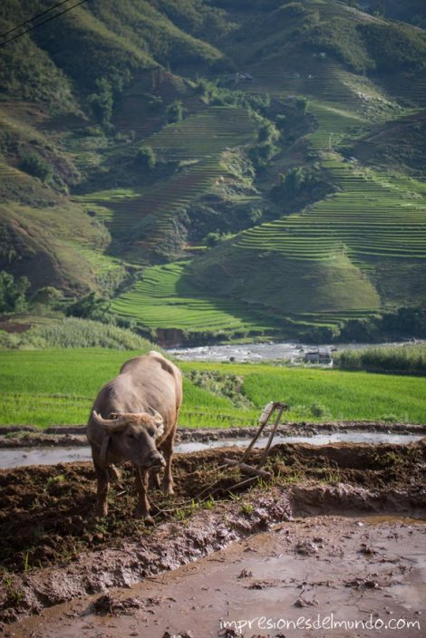 bufalo-de-agua-Sapa-impresiones-del-mundo