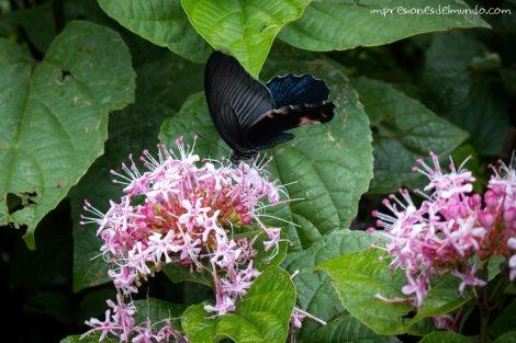 mariposa-Sapa-impresiones-del-mundo
