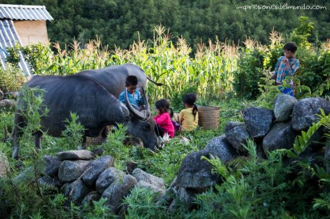 nenes-y-bufalos-de-agua-Sapa-impresiones-del-mundo