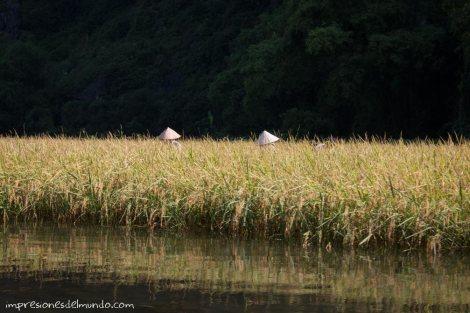 recolectando-arroz-Tam-Coc-impresiones-del-mundo