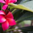 flor-Vientiane-impresiones-del-mundo