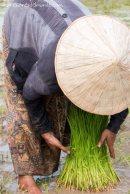 mujer-recogiendo-brotes-de-arroz-Don-Det-4000-islas-impresiones-del-mundo