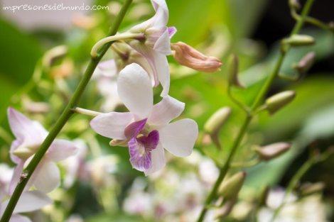 flor-Chiang-Mai-Tailandia-impresiones-del-mundo