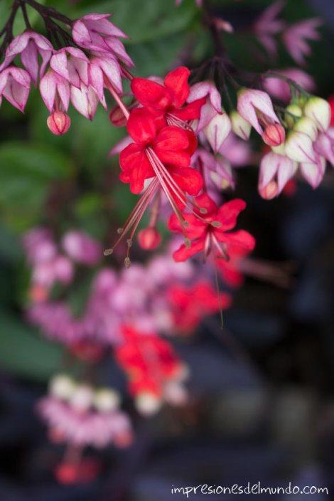 flor-roja-Chiang-Mai-Tailandia-impresiones-del-mundo