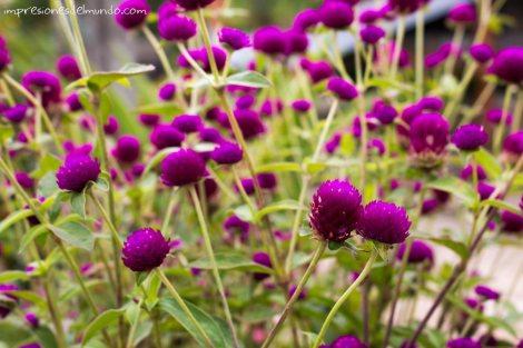 flores-Mae-Salong-Tailandia-impresiones-del-mundo