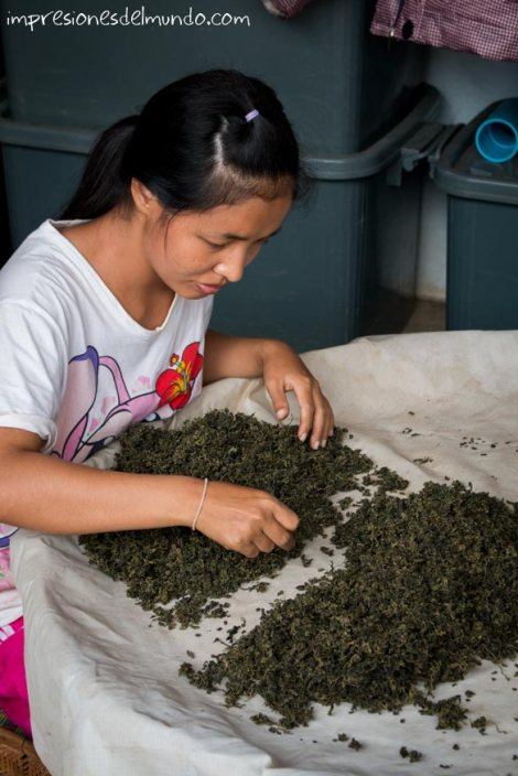 seleccionando-té-Mae-Salong-Tailandia-impresiones-del-mundo
