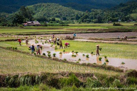 plantando-el-arroz-Myanmar-impresiones-del-mundo