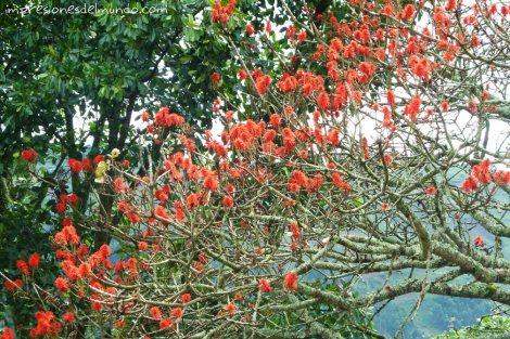 arbol-flores-rojas-Uganda-impresiones-del-mundo