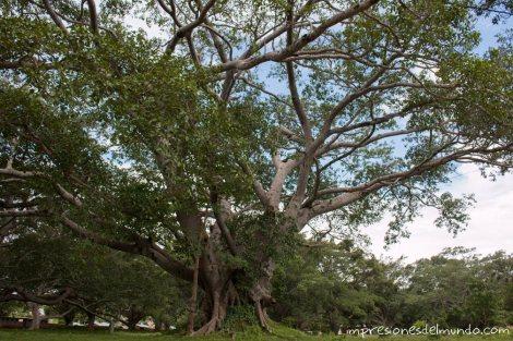 bannyan-tree-Myanmar