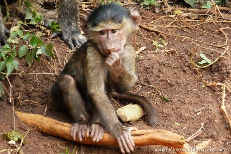 bebe-mono-Uganda-impresiones-del-mundo