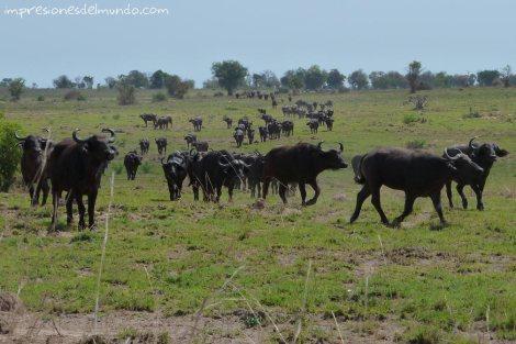 bufalos-Uganda-impresiones-del-mundo