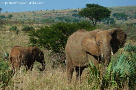 elefantes-Uganda-impresiones-del-mundo