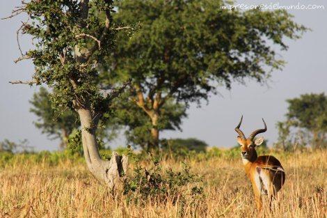 gacelas-Uganda-impresiones-del-mundo