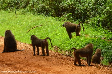 monos-Uganda-impresiones-del-mundo