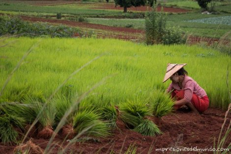 mujer-plantando-arroz-Myanmar
