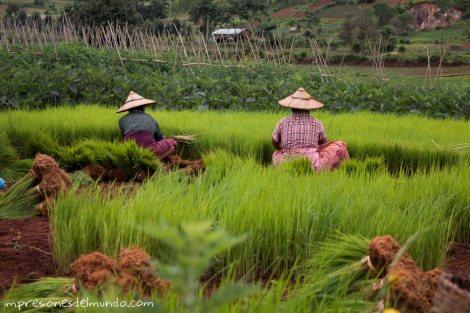 mujeres-plantando-arroz-Myanmar