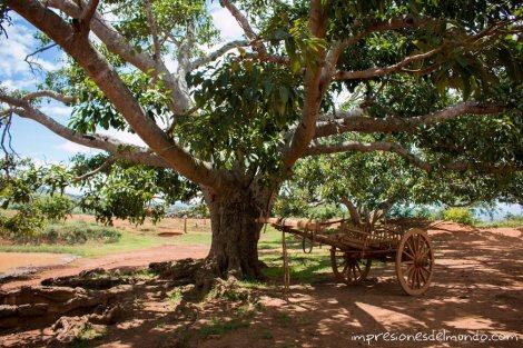 arbol-Myanmar-Birmania-impresiones-del-mundo
