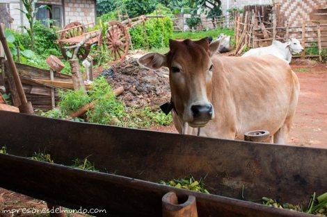 vaca-Myanmar-Birmania-impresiones-del-mundo