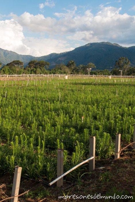 cultivo-flores-Jarabacoa-republica-dominicana-impresiones-del-mundo