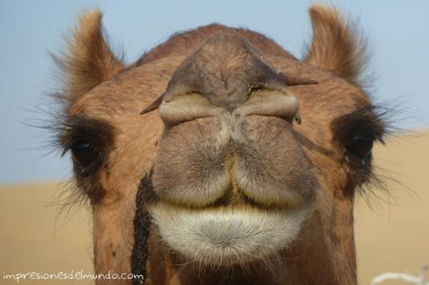 camello-Jaisalmer-impresiones-del-mundo