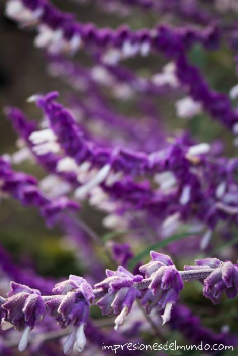flores-moradas-jardin-botanico-madrid-impresiones-del-mundo