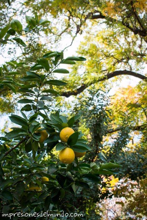 limones-jardin-botanico-madrid-impresiones-del-mundo