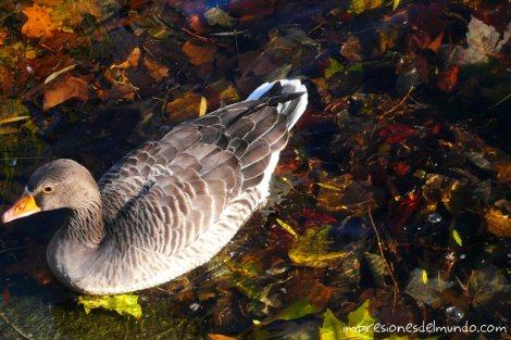 Pato-Londres-impresiones-del-mundo